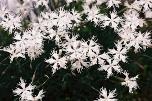 Dianthus sp. - nagelj 06