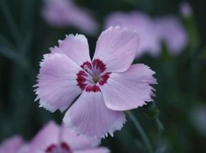 Dianthus sp. - nagelj 07
