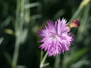 Dianthus sp. - nagelj 08