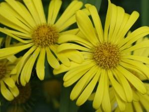 Doronicum grandiflorum - velecvetni divjakovec 02