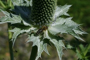 Eryngium gigantemum - velika možina 01