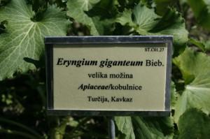 Eryngium gigantemum - velika možina 04