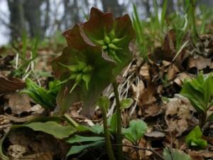 Helleborus nigra - črni teloh 02