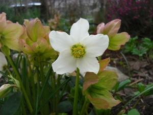 Helleborus nigra - črni teloh 04