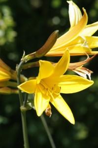 Hemerocallis sp. - enodnevna lilija 06