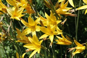 Hemerocallis sp. - enodnevna lilija 07