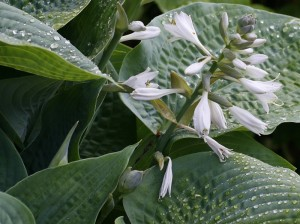 Hosta 'Blu Angel' - hosta 05