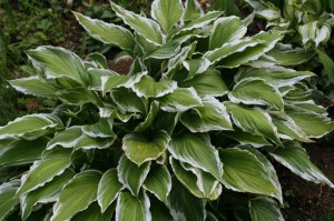Hosta minor 'Albomarginata' - hosta 01