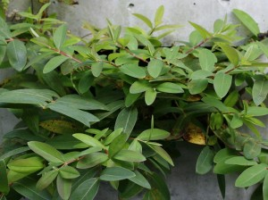 Hypericum calycinum - krčnica 02
