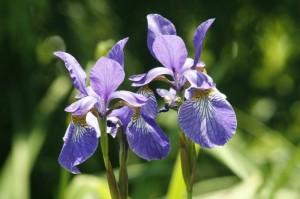 Iris kaempferi - kaempferjeva perunika 01