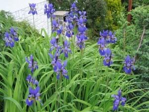 Iris kaempferi - kaempferjeva perunika 04