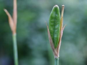 Iris sibirica - sibirska perunika 01
