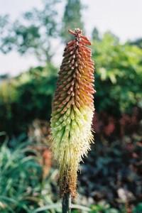Kniphofia sp. - bakljasta lilija 02