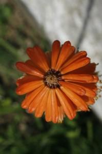 Kniphofia sp. - bakljasta lilija 05