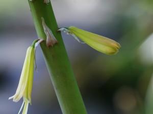 Kniphofia uvaria - bakljasta lilija 08