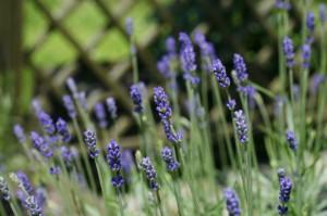 Lavandula angustifolia - prava sivka 01