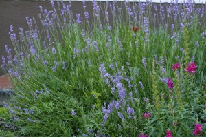 Lavandula angustifolia - prava sivka 04