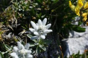 Leontopodium alpinum - planika 01