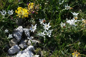 Leontopodium alpinum - planika 04