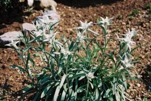 Leontopodium alpinum - planika 05