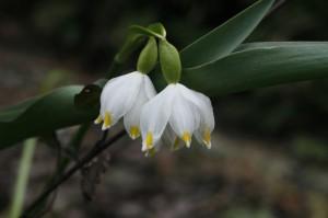 Leucojum vernum - veliki pomladni zvonček 02