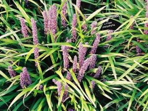 Liriope platyphylla - liriopa 02