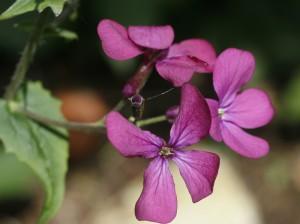 Lunaria annua - cekinčki 04