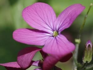 Lunaria annua - cekinčki 05