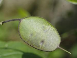 Lunaria annua - cekinčki 07