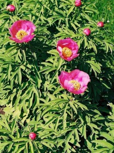 Paeonia officinalis - potonika 01
