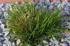 Pennisetum alopecuroides - perjanka 01