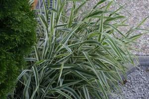 Phalaris arundinacea 'Picta' - pisana trava 01