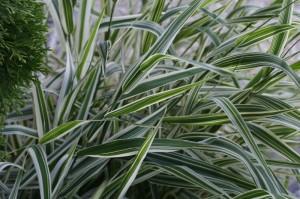 Phalaris arundinacea 'Picta' - pisana trava 02