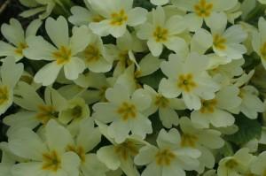 Primula vulgaris - navadna trobentica 01