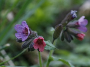 Pulmonaria officinalis - navadni pljučnik 01