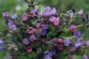 Pulmonaria officinalis - navadni pljučnik 04