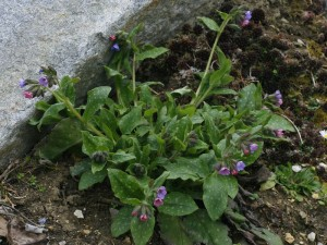 Pulmonaria officinalis - navadni pljučnik 06
