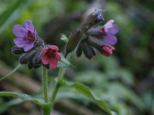Pulmonaria officinalis - navadni pljučnik 07