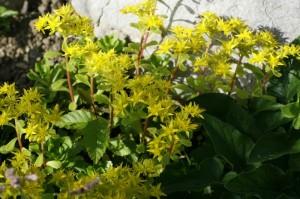 Sedum floviferum 'Weihenstephaner Gold' - homulica 01
