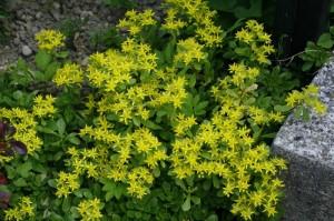 Sedum floviferum 'Weihenstephaner Gold' - homulica 02