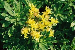 Sedum floviferum 'Weihenstephaner Gold' - homulica 03