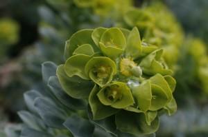 Sedum rosea - rozetasta homulica 02