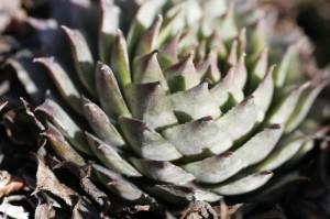 Sempervivum hybridum - netresk 01
