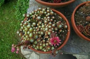 Sempervivum hybridum - netresk 02