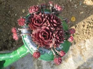 Sempervivum hybridum - netresk 03