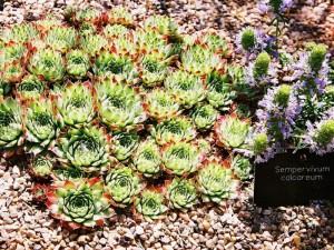 Sempervivum hybridum - netresk 04