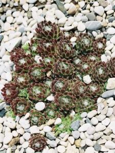 Sempervivum sp. - netresk 01