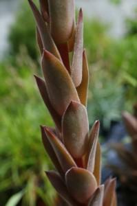 Sempervivum tectorum - navadni netresk 06