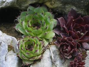 Sempervivum tectorum - navadni netresk 07
