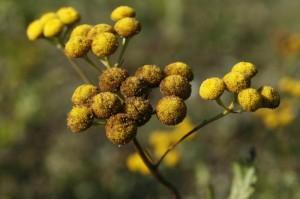 Tanacetum vulgare - vratič 01